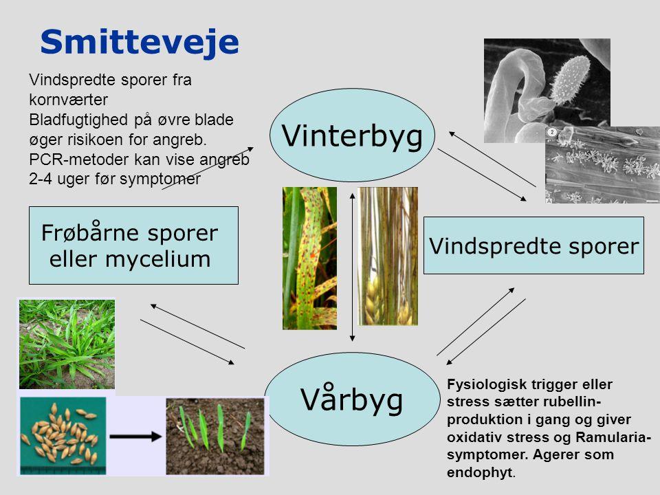 Smitteveje Vårbyg Vindspredte sporer Vinterbyg Frøbårne sporer eller mycelium Vindspredte sporer fra kornværter Bladfugtighed på øvre blade øger risikoen for angreb.
