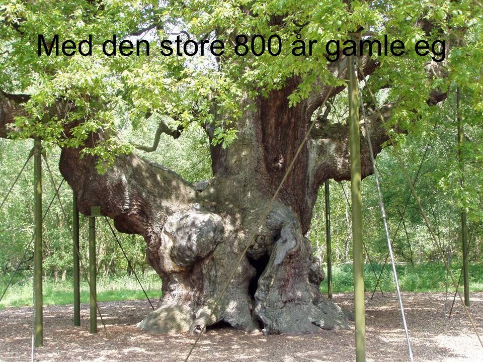 Med den store 800 år gamle eg