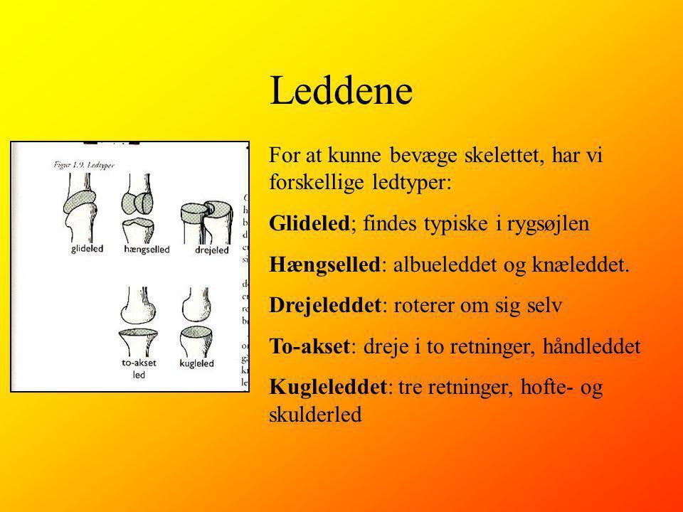 Leddene For at kunne bevæge skelettet, har vi forskellige ledtyper: Glideled; findes typiske i rygsøjlen Hængselled: albueleddet og knæleddet.