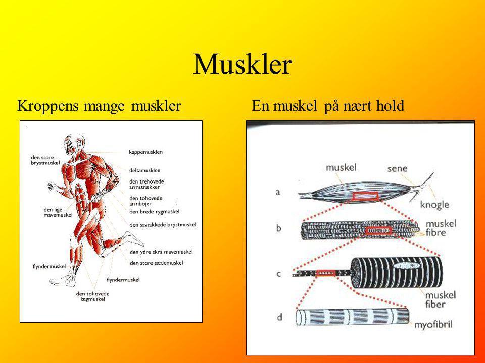 Muskler Kroppens mange musklerEn muskel på nært hold