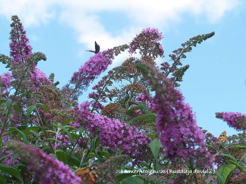Sommerfuglebusk (Buddleja davidii )