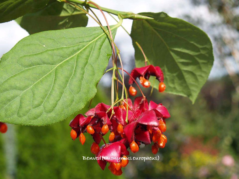 Benved(Euonymus europaeus)