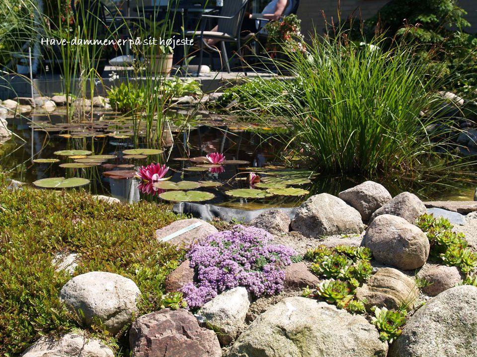 Have-dammen er på sit højeste