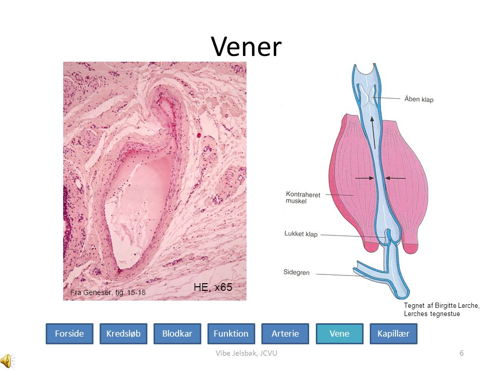 Mikrovaskulære kar Vibe Jelsbak, JCVU7 Arteriole HE, x540 Kapillær HE, x600 ForsideKredsløbBlodkarFunktionArterieVeneKapillær