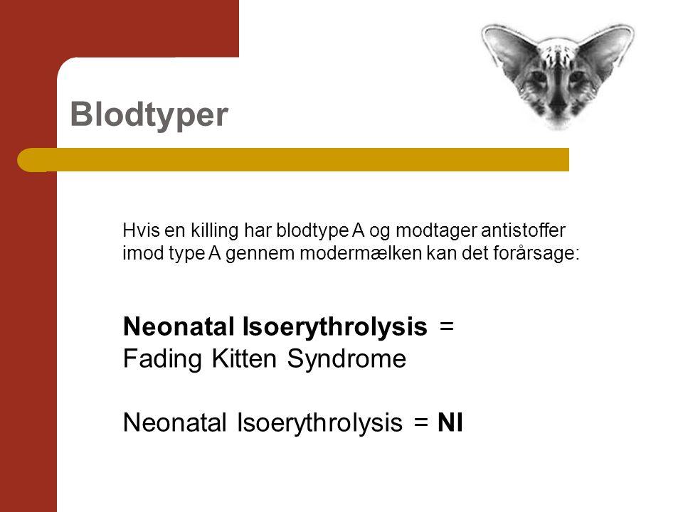 Blodtyper Hvis en killing har blodtype A og modtager antistoffer imod type A gennem modermælken kan det forårsage: Neonatal Isoerythrolysis = Fading Kitten Syndrome Neonatal Isoerythrolysis = NI