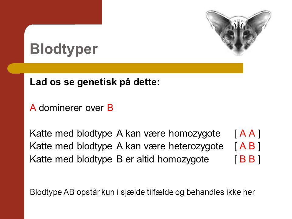 Blodtyper Lad os se genetisk på dette: A dominerer over B Katte med blodtype A kan være homozygote [ A A ] Katte med blodtype A kan være heterozygote [ A B ] Katte med blodtype B er altid homozygote [ B B ] Blodtype AB opstår kun i sjælde tilfælde og behandles ikke her