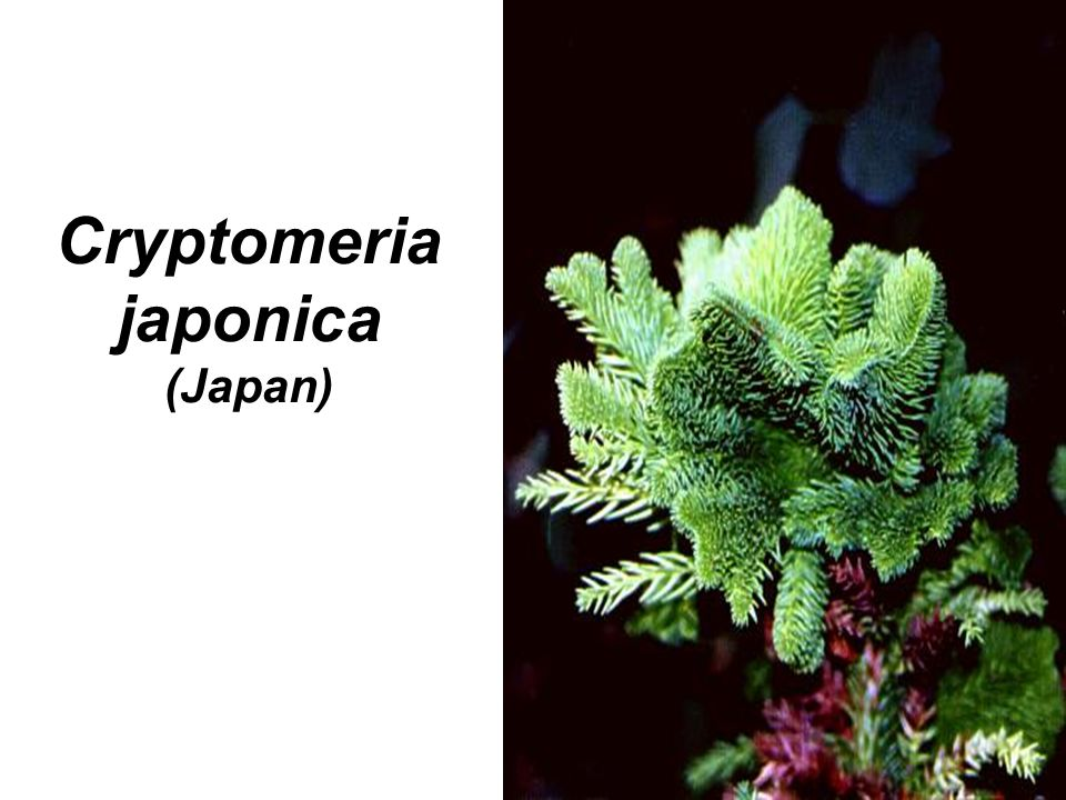 Cryptomeria japonica (Japan)